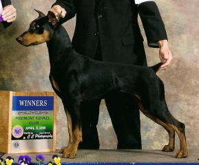 German Pinscher Brutus Bred, Owned, Loved and Handled by Beverly and Robert Diamond