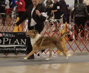 GCH Deep RiverCrosswind Jake'O Lantern. #4 Smooth Coat Collie of 2014 in National Owner Handler Series.
