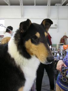 late CH Deep River Shadow of Victory (1997-2008) Son of top producing Smooth Collie in the country.